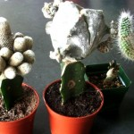 Examples of grafted cacti