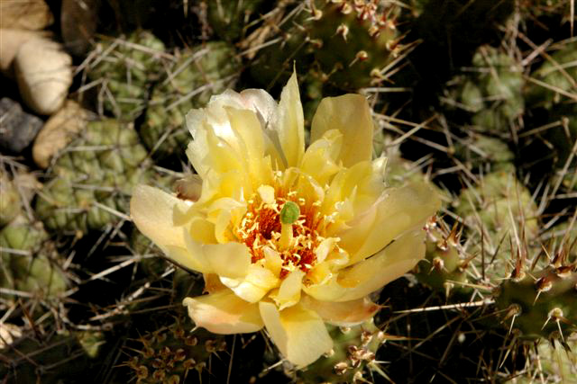 A beautiful opuntia flower in July 2008