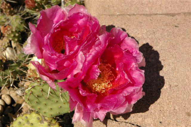 Opuntia basilaris hybrid (seed 1985) in July 2008