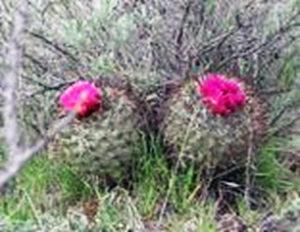 Pediocactus nigrispinus in bloom